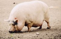 I diversi tagli di carne del maiale