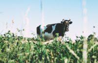 Produzione di latte bovina: quanto?
